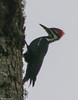 Female pileated woodpecker perched on tree at Marjie's